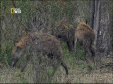 Природа и животные: материнство леопардов